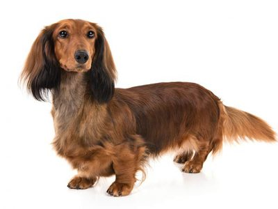 Best Dog Food For Dachshund Review [Standard & Miniature]