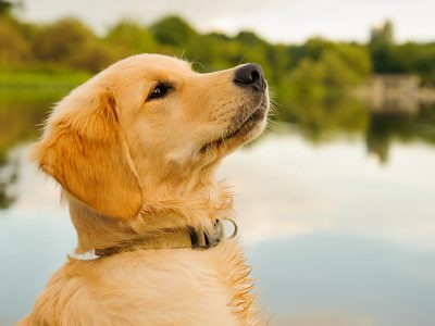 Best Dog Food for Golden Retriever Puppy Review