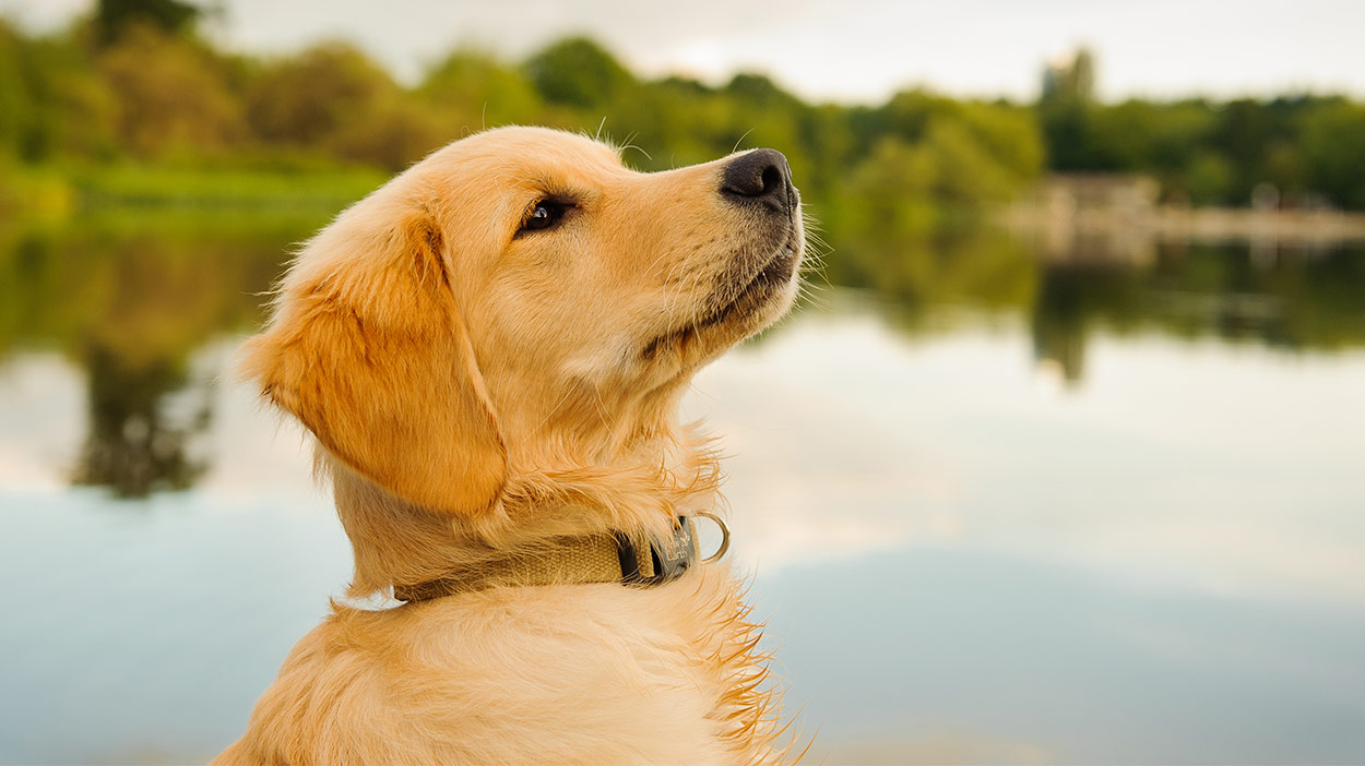 best-dog-food-for-golden-retriever