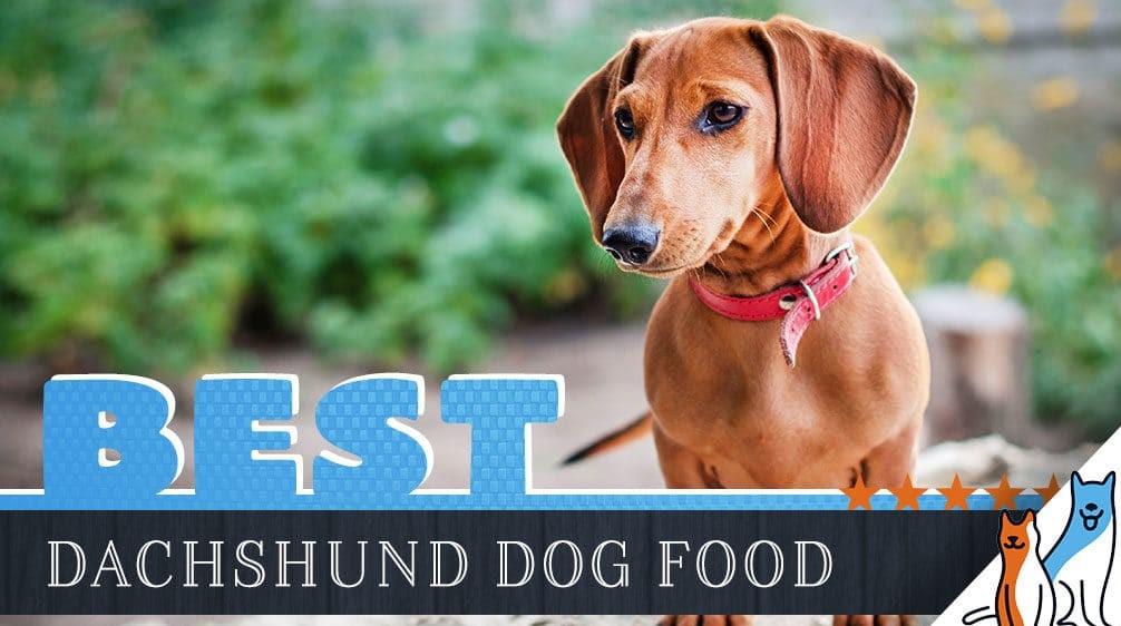 dachshund-dog-food