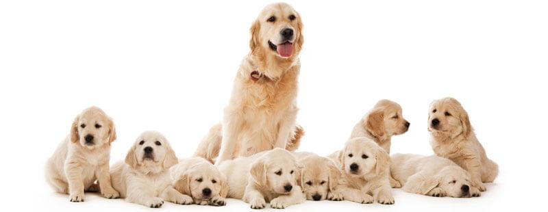 feeding Pregnant dogs