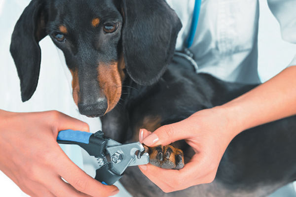 Dogs nail trimming at home