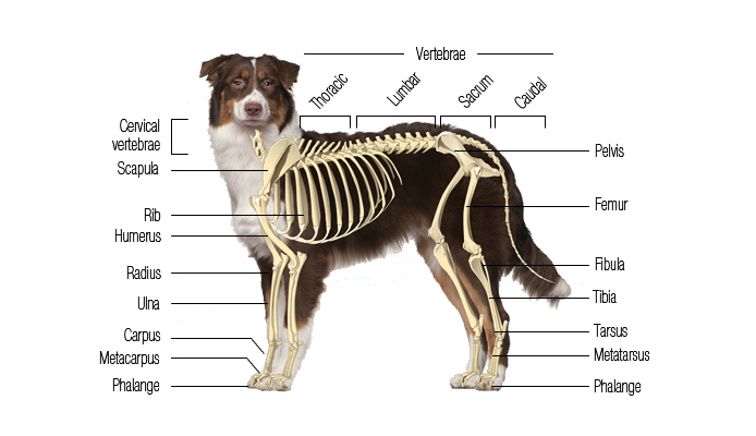 Dog's Skeletal System